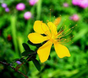 Жълт Кантарион билка за чудо и приказ
