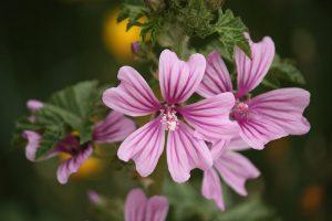 krasiviq-gorski-slez-cvetove