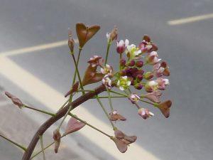 bilka-ovcharska-torbichka