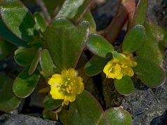 tuchenica-cvetove